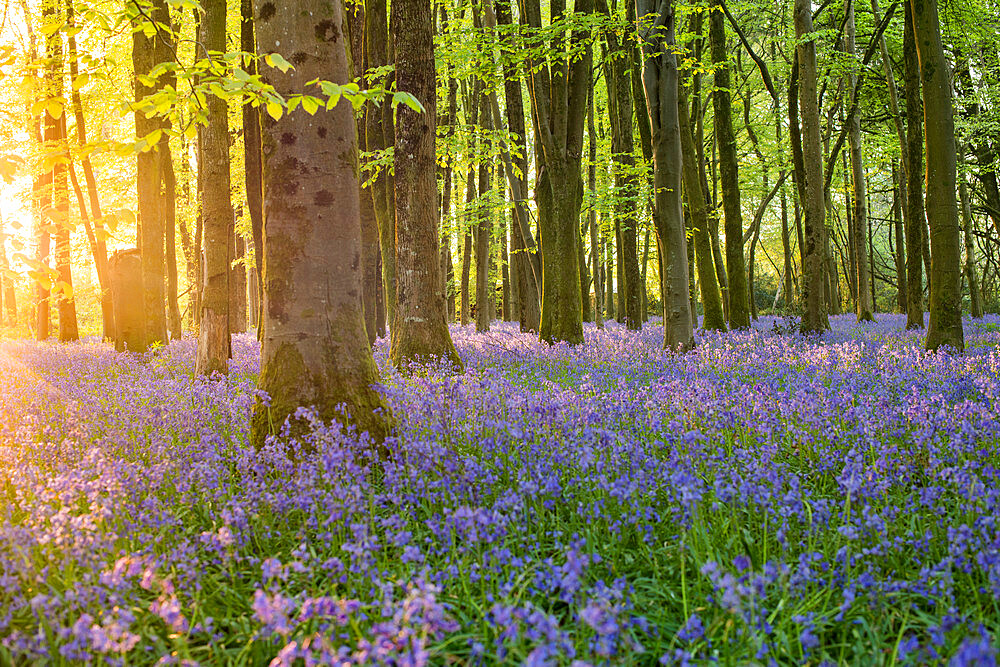 Bluebells cover a woodland floor during Spring in a small forest and catch the last rays of sun - 1225-1319