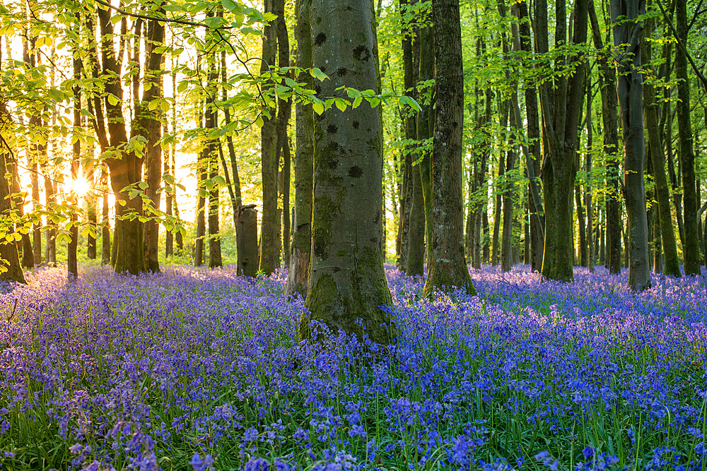 Bluebells cover a woodland floor during Spring in a small forest and catch the last rays of sun - 1225-1320