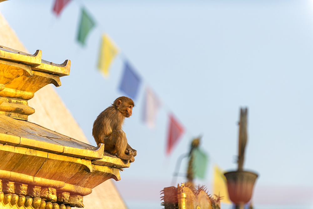 A macaque monkey at Swayambhunath (Monkey Temple) in front of prayer flags, UNESCO World Heritage Site, Kathmandu Valley, Nepal, Asia - 1225-1326