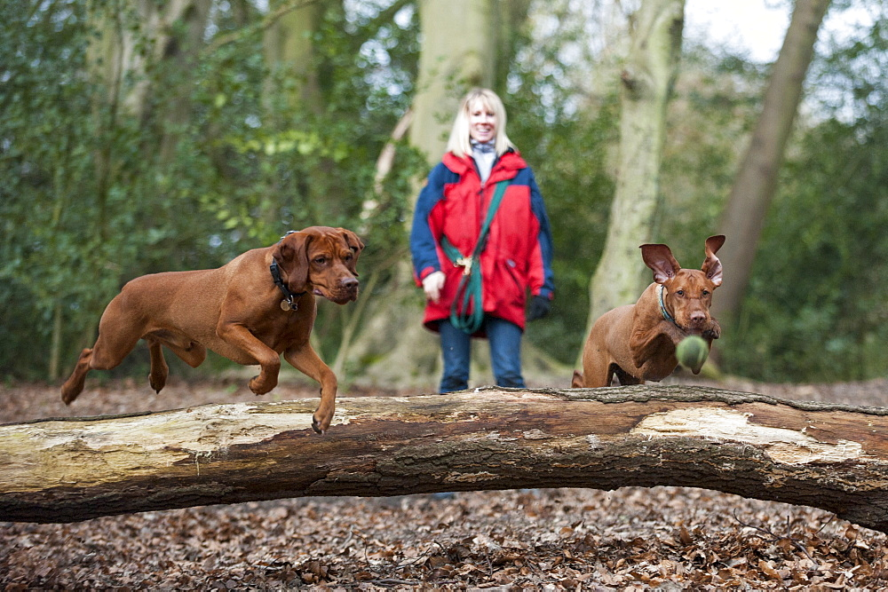A woman takes her Vizslas for a walk on Putney Heath, London, England, United Kingdom, Europe