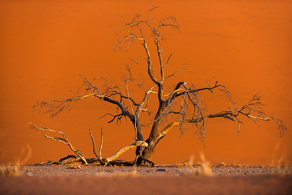 Acacia tree in front of Dune 45 in the Namib Desert at sunset, Sossusvlei, Namib-Naukluft Park, Namibia, Africa