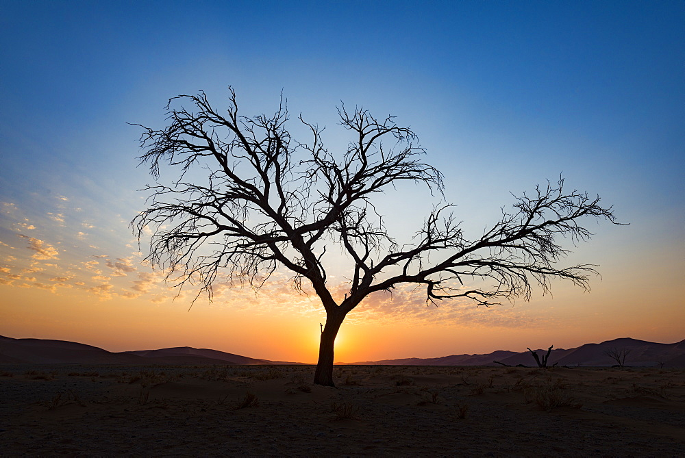 Acacia tree near Dune 45 in the Namib Desert at sunset, Sossusvlei, Namin-Naukluft Park, Namibia, Africa