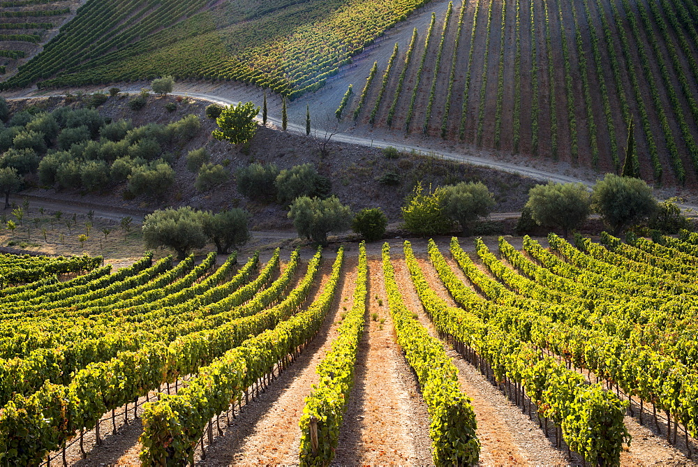 Rows of grape vines ripening in the sun at a vineyard in the Alto Douro region, Portugal, Europe