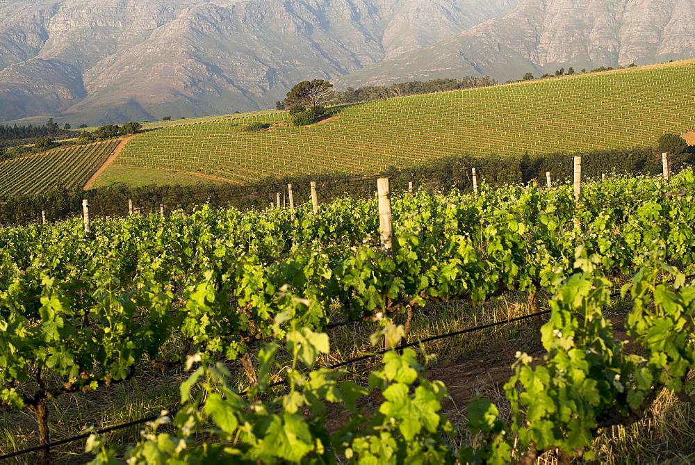 Vineyards near Stellenbosch in the Western Cape, South Africa, Africa