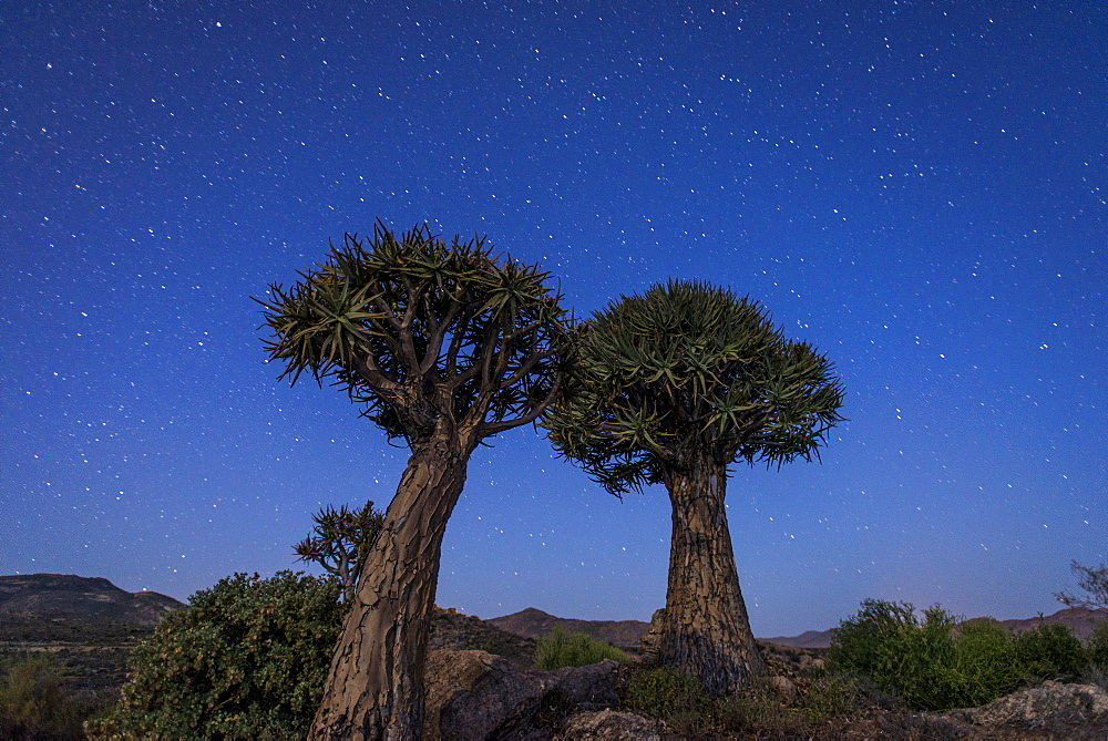 Quiver Trees (kokerboom) (Aloe dichotoma) under a night sky near Springbok, Northern Cape, South Africa, Africa