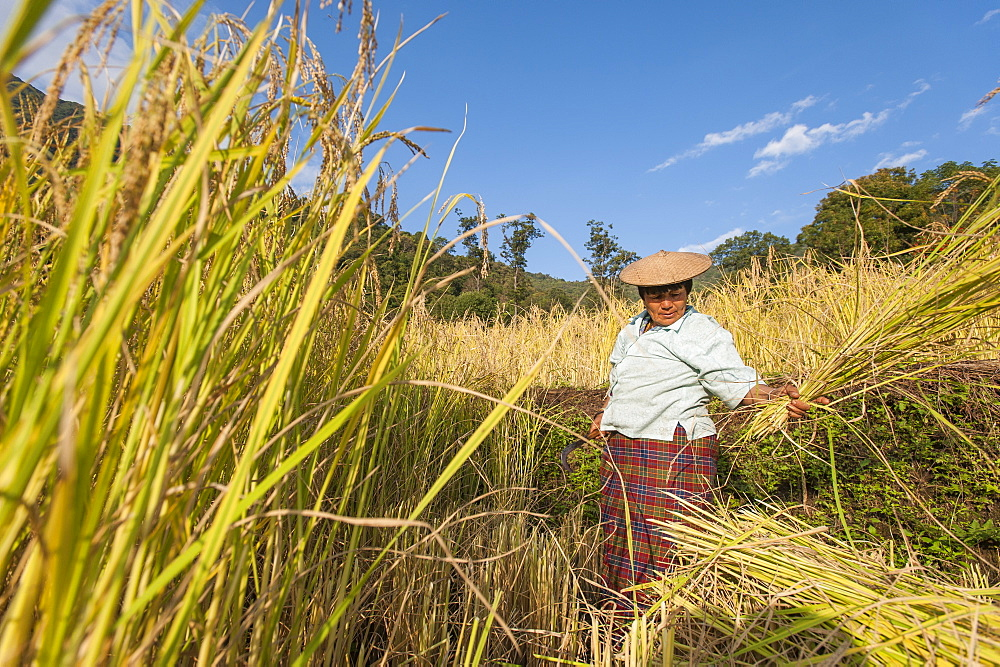 A woman harvests rice in east Bhutan near Mongar, Bhutan, Asia