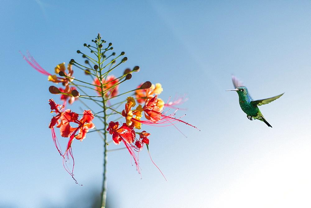 A hummingbird in Castara Bay on the Caribbean island of Tobago, Trinidad and Tobago, West Indies, Caribbean, Central America