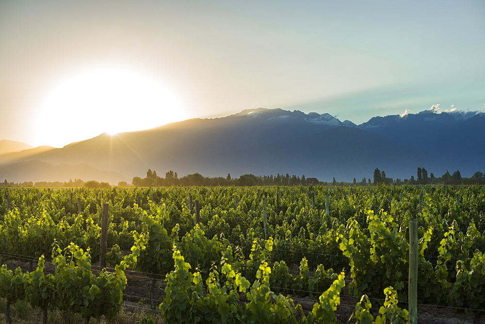 Malbec vineyards at the foot of the Andes in the Uco Valley near Mendoza, Argentina, South America - 1225-380