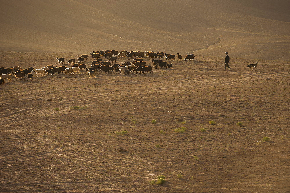 The long march, in the barren hills of Afghanistan, shepherds and their flocks are compelled to walk long distances, Afghanistan, Asia