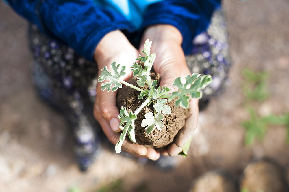 An Afghan farmer holds a seedling carefully in her hands in Bamiyan Province, Afghanistan, Asia
