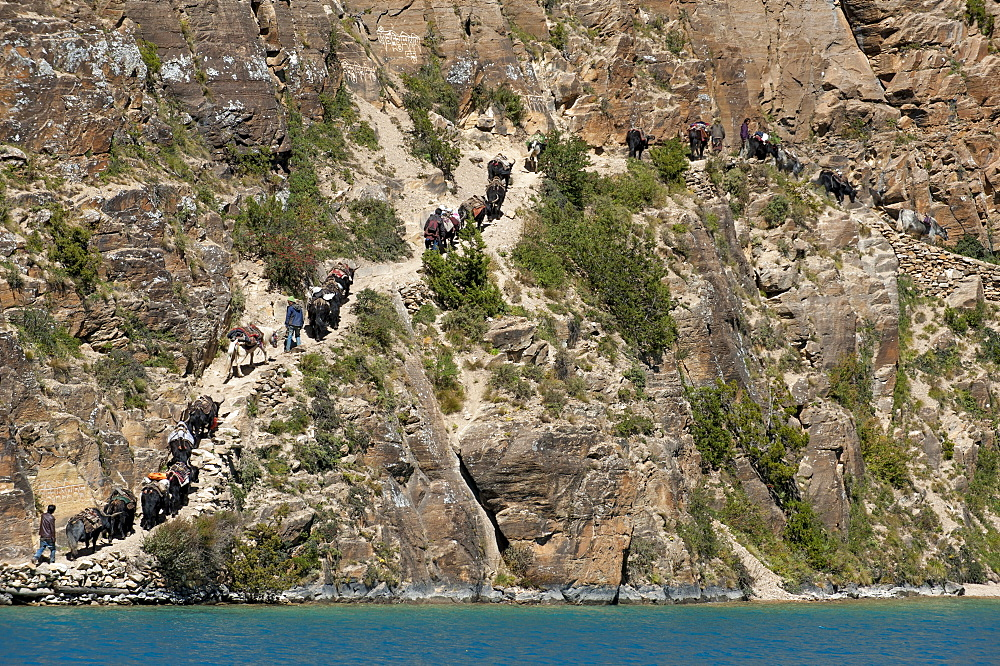 Yaks, the local beasts of burden and the principal mode of transport, bringing supplies into Dolpa, a remote region of Nepal, Himalayas, Asia