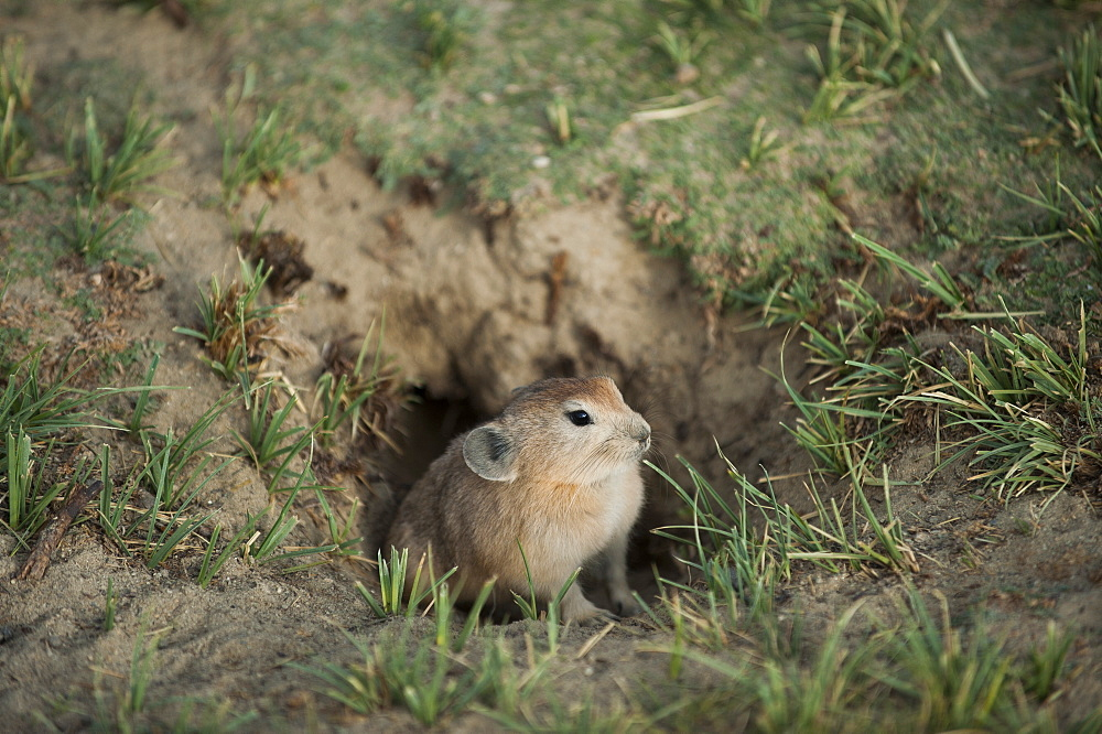 A Pika peeks his nose out of his hole near Tso Moriri in the remote region of Ladalkh, north India, Asia