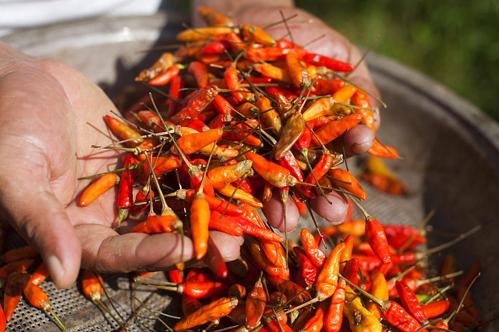 A man holds up a handful of freshly picked chillies, Chittagong Hill Tracts, Bangladesh, Asia