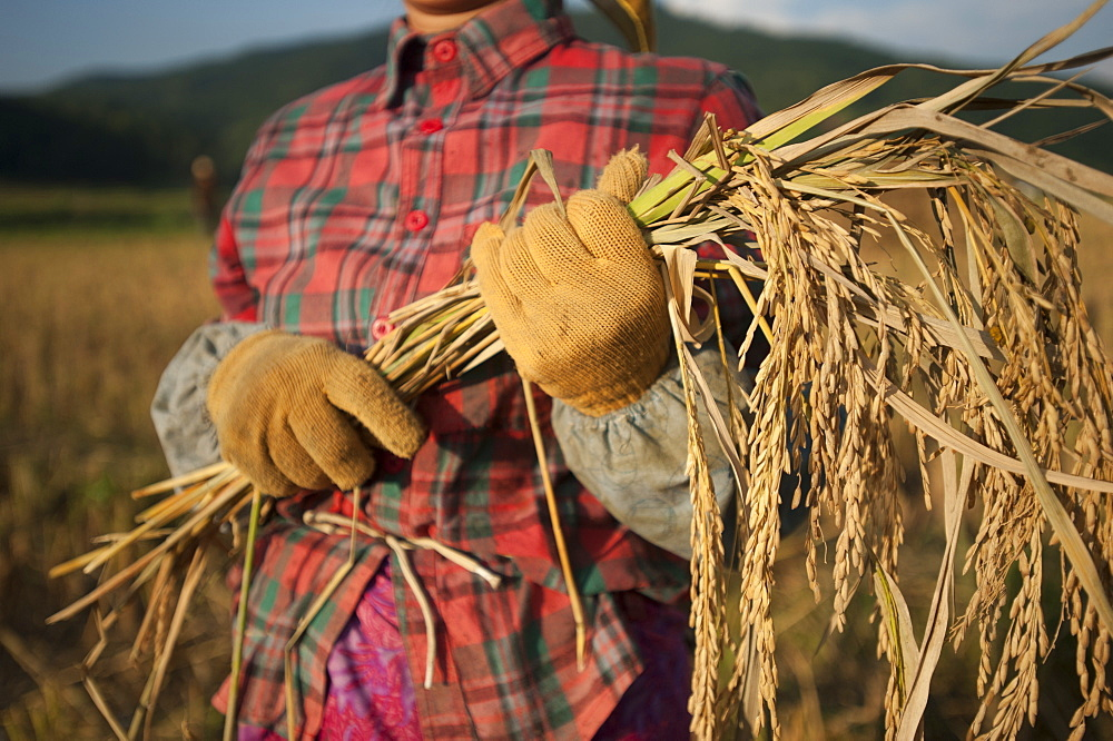 A woman harvests rice by hand with a sickle in China