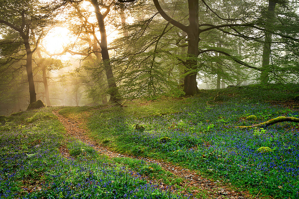 Bluebells and mist in Manesty Wood in Borrowdale, Derwent Water, The English Lake District, England. - 1228-206