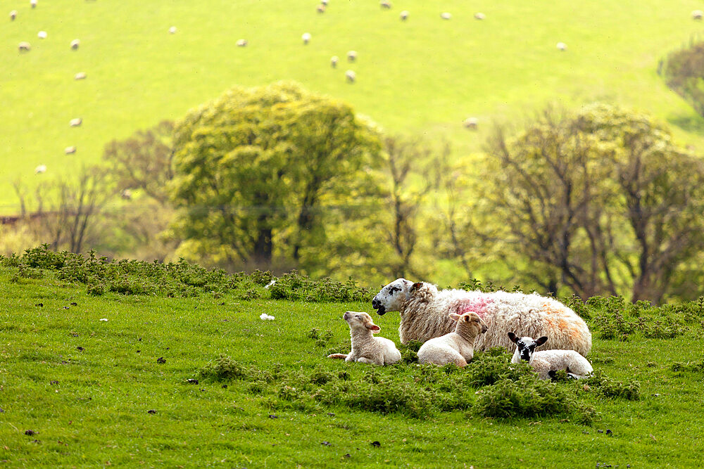 A Swaledale Ewe with lambs at Danby, The North Yorkshire Moors, UK. - 1228-211