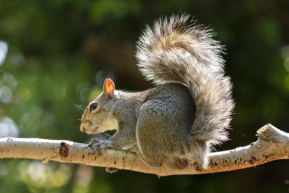 A Grey Squirrel photographed in a North Yorkshire garden, England