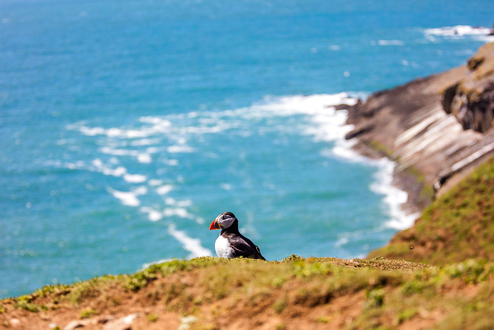 Puffin on Skomer Island, Pembrokeshire, Wales, United Kingdom, Europe - 1230-4