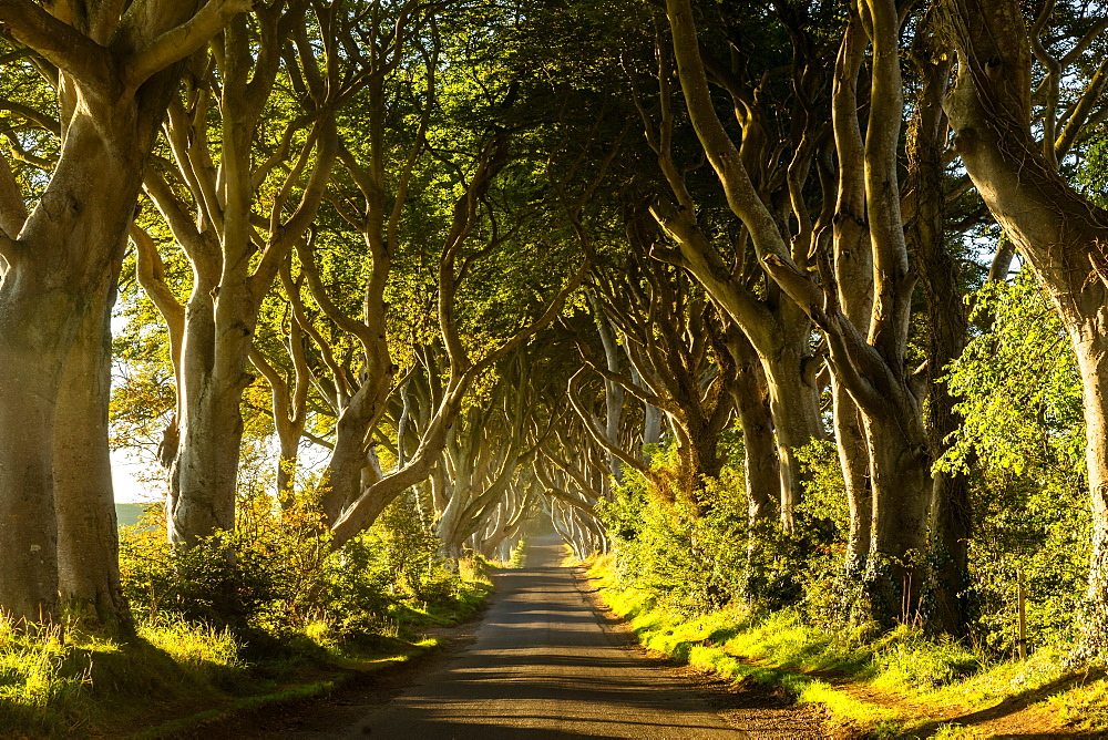 A road runs through the Dark Hedges tree tunnel at sunrise in Northern Ireland, United Kingdom, Europe