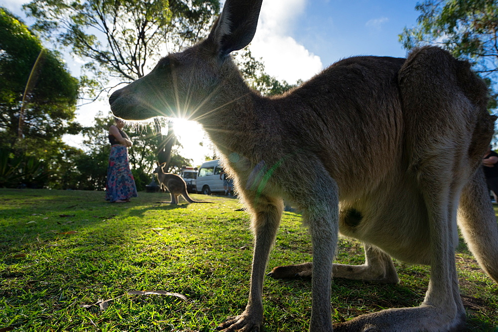 A kangaroo is framed by the setting sun, Australia, Pacific