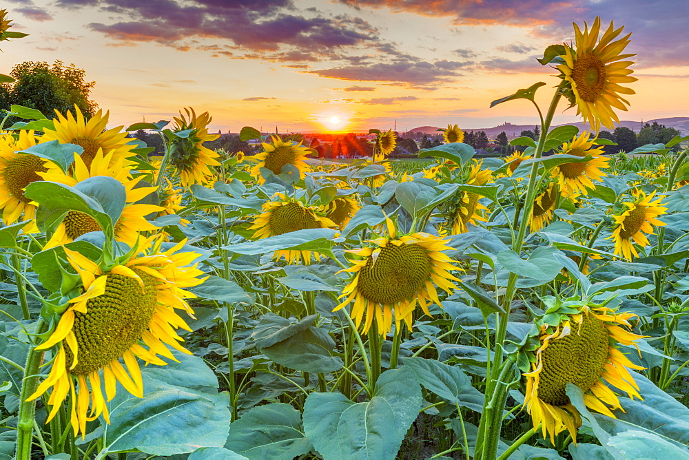 Sunflowers at sunset, Austria, Europe