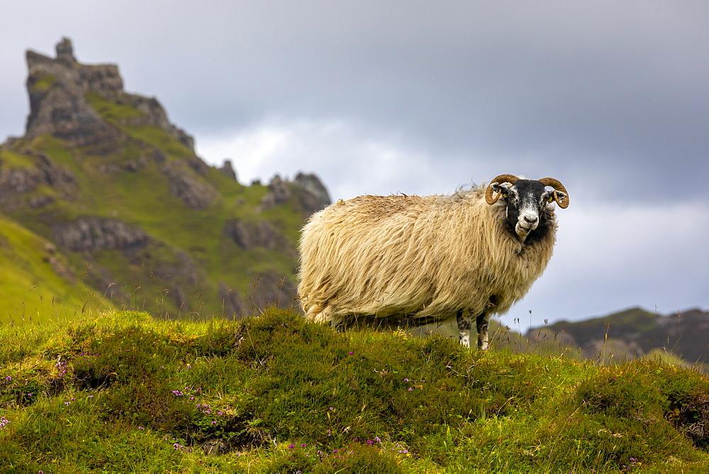 Ram Sheep (Ovis aries), The Quiraing, Isle of Skye, Inner Hebrides, Highlands and Islands, Scotland, United Kingdom, Europe