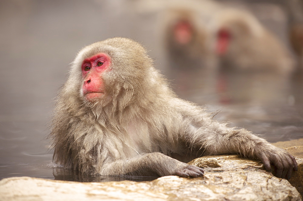 Japanese macaque in hot spring, Jigokudani, Nagano, Japan, Asia