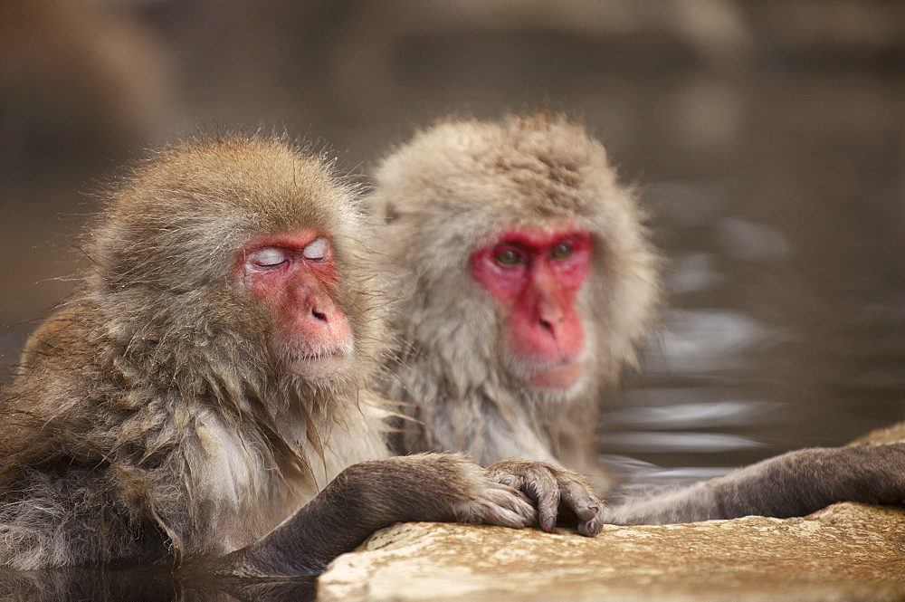 Japanese macaques in hot spring, Jigokudani, Nagano, Japan, Asia
