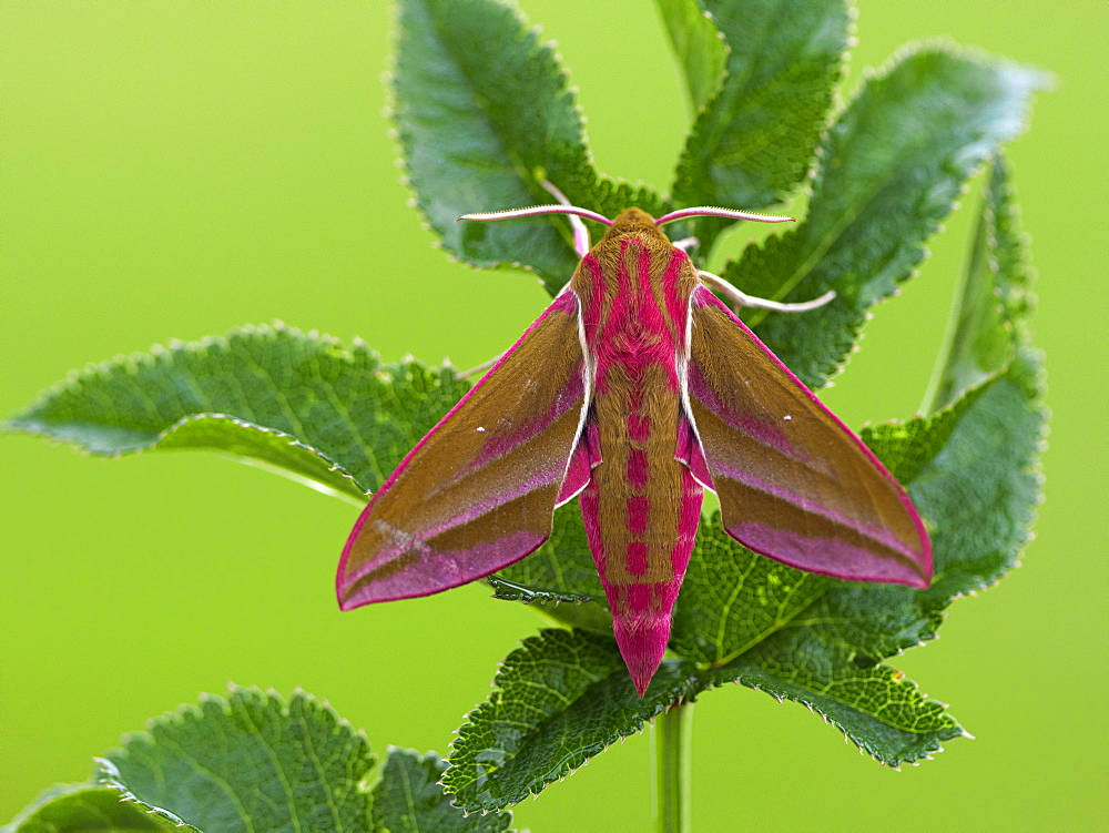 Elephant Hawkmoth, County Clare, Munster, Republic of Ireland, Europe - 1240-353
