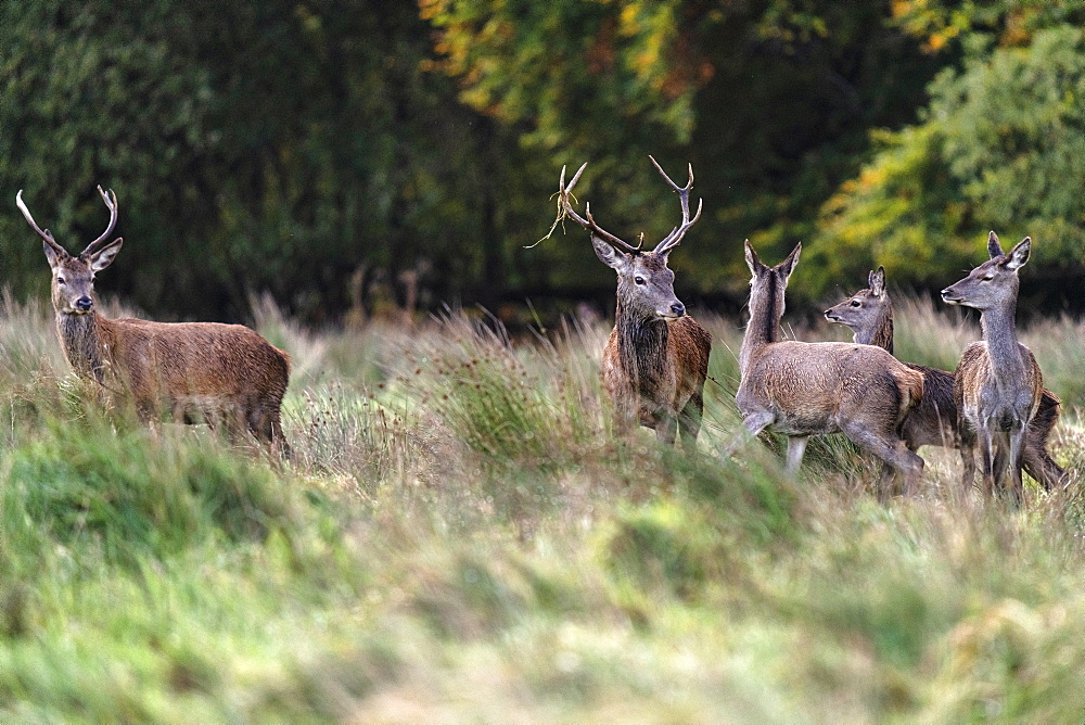 Red Deer, Killarney National Park, County Kerry, Munster, Republic of Ireland, Europe - 1240-359