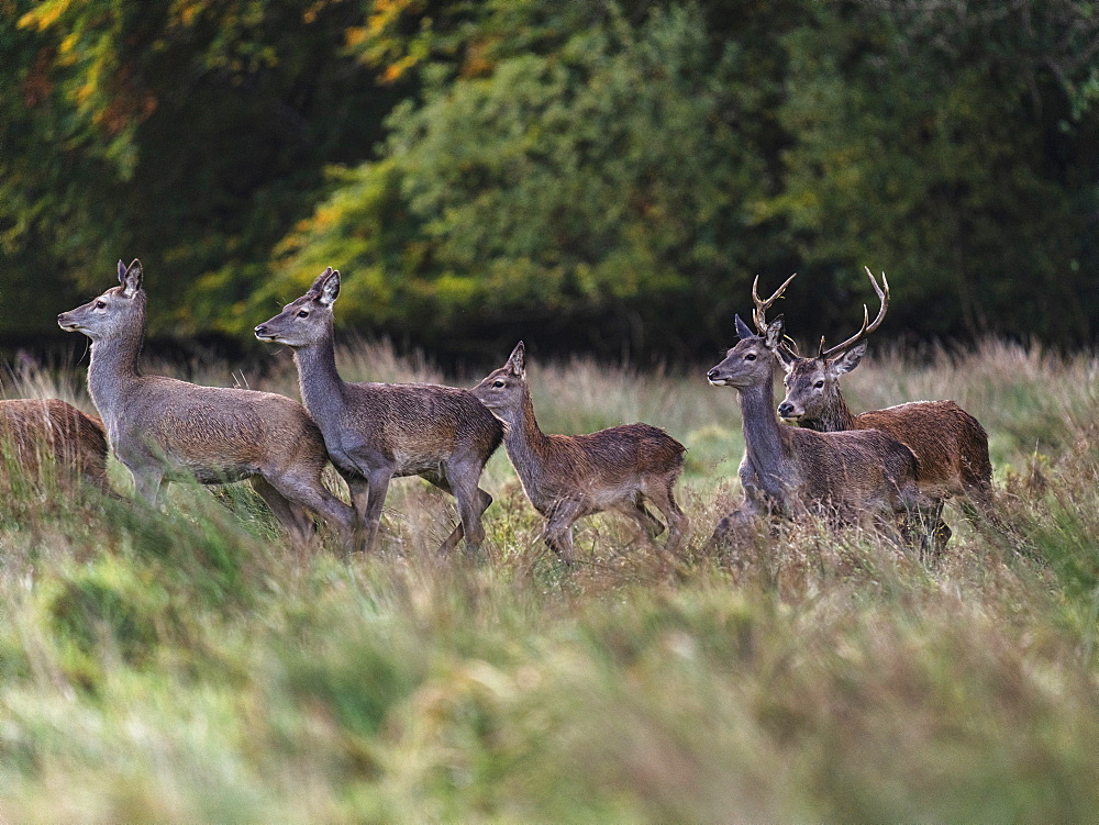 Red Deer, Killarney National Park, County Kerry, Munster, Republic of Ireland, Europe - 1240-360