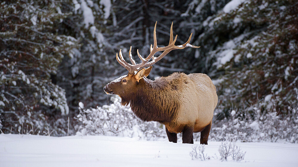 Large Bull Elk (Cervus canadensis) standing in deep snow during winter in Banff National Park, UNESCO World Heritage Site, Alberta, The Rockies, Canada, North America - 1241-100