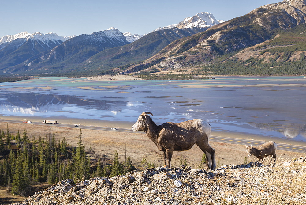 Rocky Mountain Bighorn Sheep ewe and lamb (Ovis canadensis) overlooking Highway 16 traffic, Jasper National Park, UNESCO World Heritage Site, Alberta, Canada, North America - 1241-116