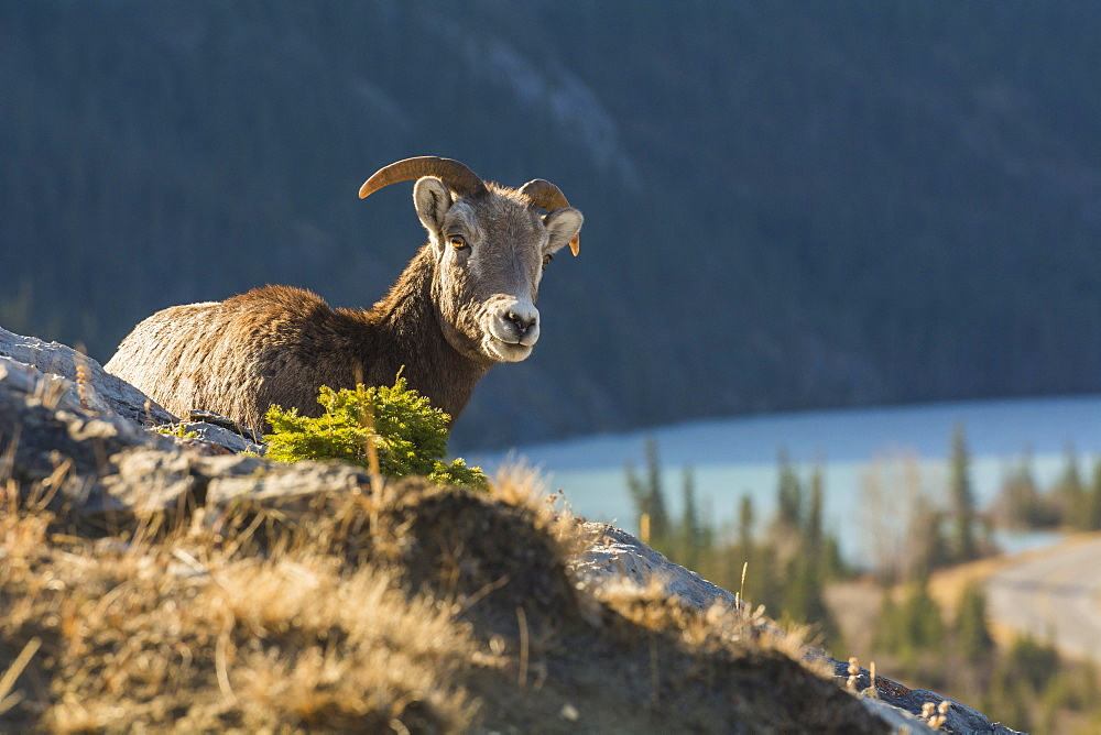 Rocky Mountain Bighorn Sheep ewe (Ovis canadensis), Jasper National Park, UNESCO World Heritage Site, Alberta, Canada, North America - 1241-121