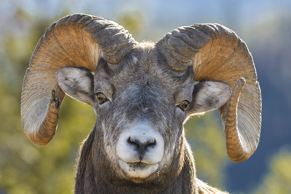Rocky Mountain Bighorn Ram (Ovis canadensis) close up portrait, Jasper National Park, UNESCO World Heritage Site, Alberta, Canada, North America - 1241-124
