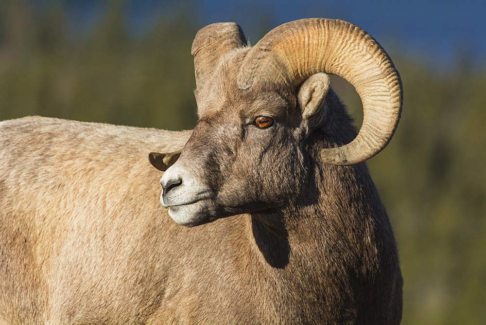 Rocky Mountain Bighorn Ram (Ovis canadensis) close up portrait, Jasper National Park, UNESCO World Heritage Site, Alberta, Canada, North America - 1241-126