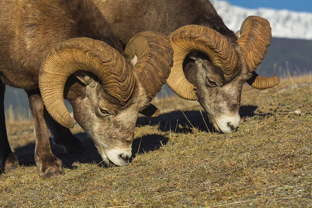 Rocky Mountain Bighorn Rams (Ovis canadensis) grazing, Jasper National Park, UNESCO World Heritage Site, Alberta, Canada, North America - 1241-127