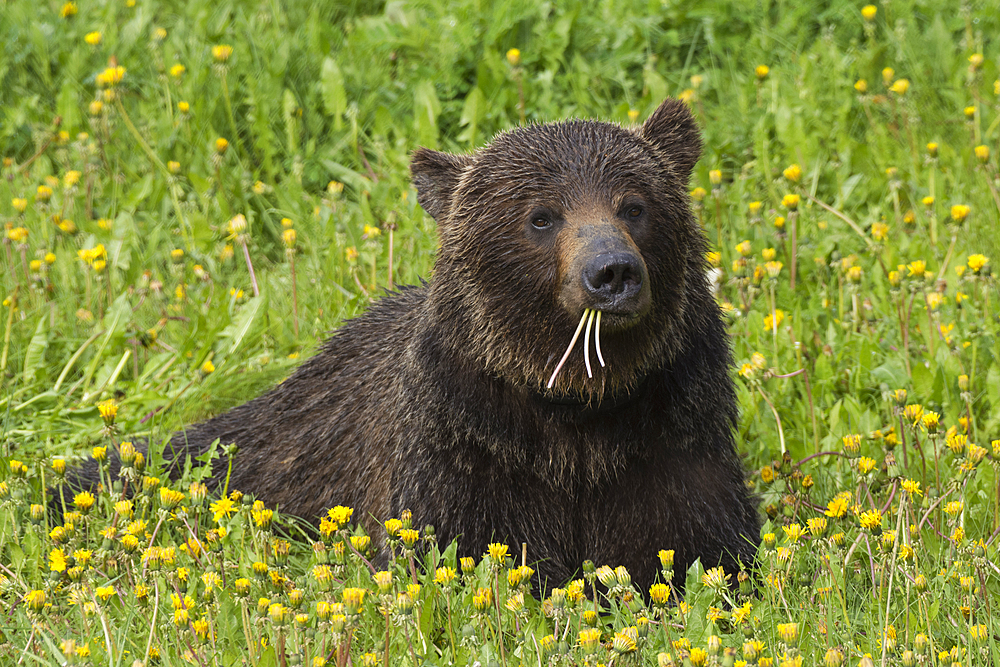 Grizzly Bear (Ursus arctos) lying in a field of dandelions, Spray Valley Provincial Park, Kananaskis, Alberta, Canada, North America - 1241-185