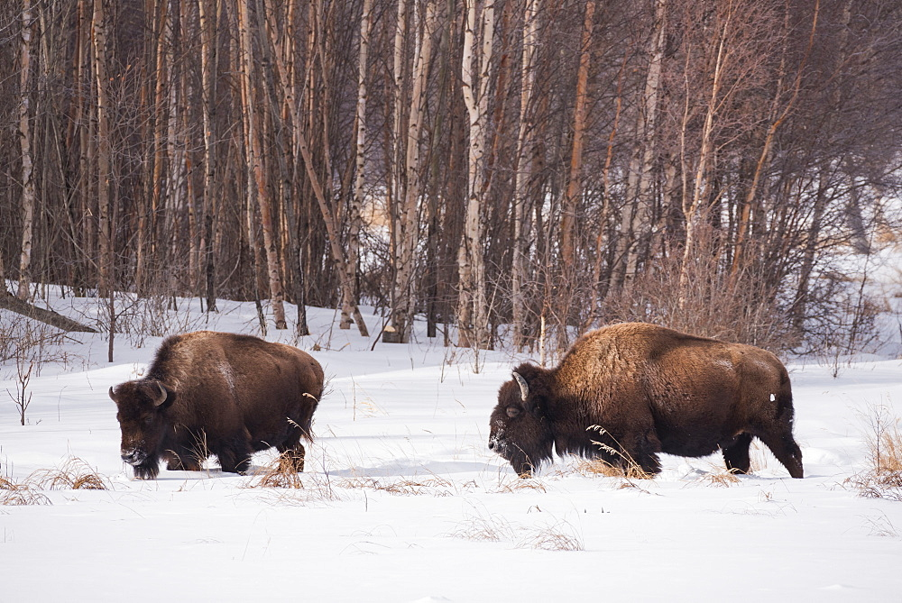 Plains bison in a winter landscape, Elk Island National Park, Alberta, Canada - 1241-208