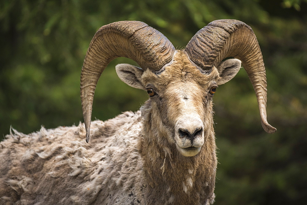 Bighorn sheep ram (Ovis canadensis), Banff National Park, Alberta, Canada