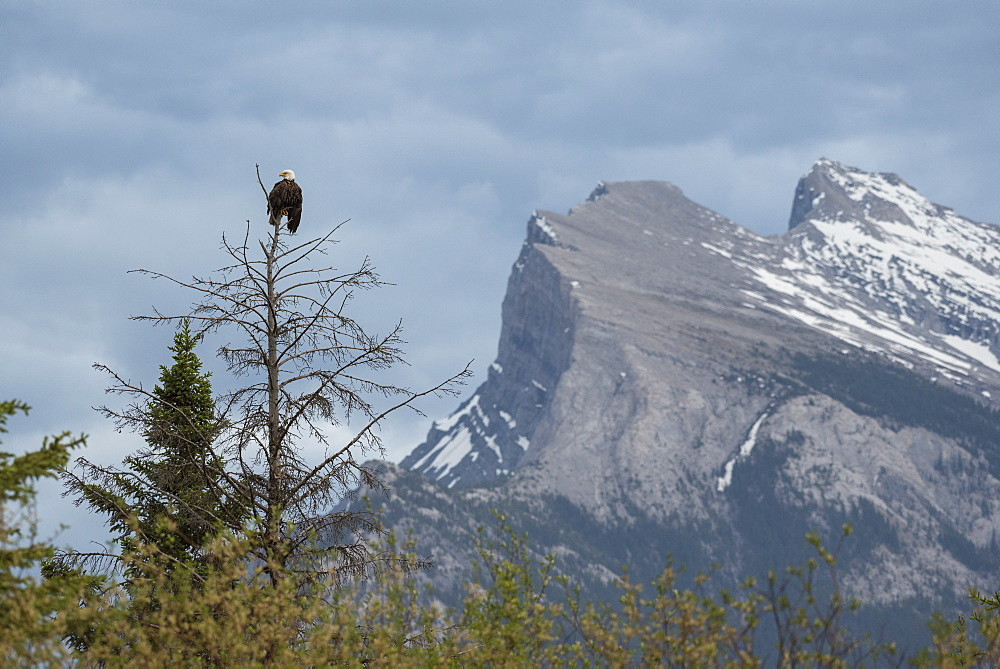 Bald Eagle with Mount Rundle in the background, Banff National Park, Canada
