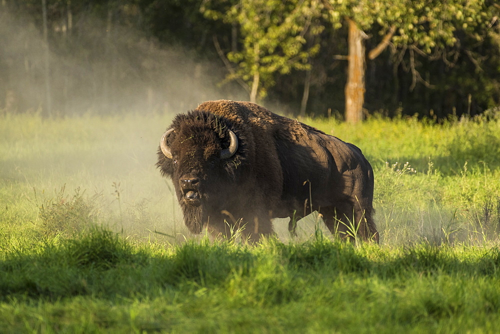 Wild male plains bison during the mating season, Elk Island National Park, Alberta, Canada
