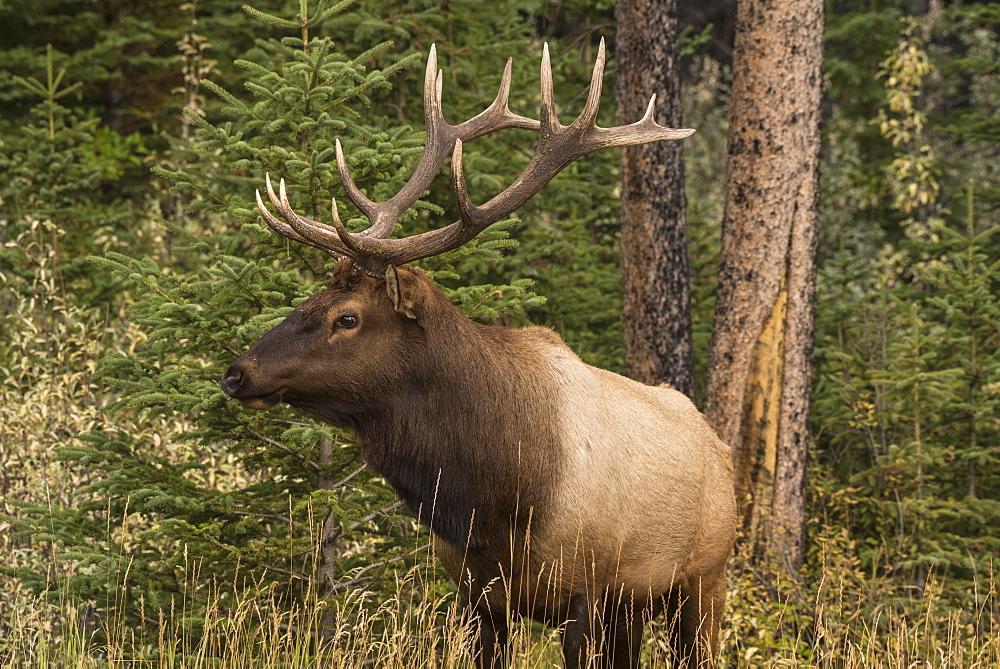Bull Elk (Wapiti), Banff National Park, UNESCO World Heritage Site, Alberta, Canadian Rockies, Canada, North America - 1241-255