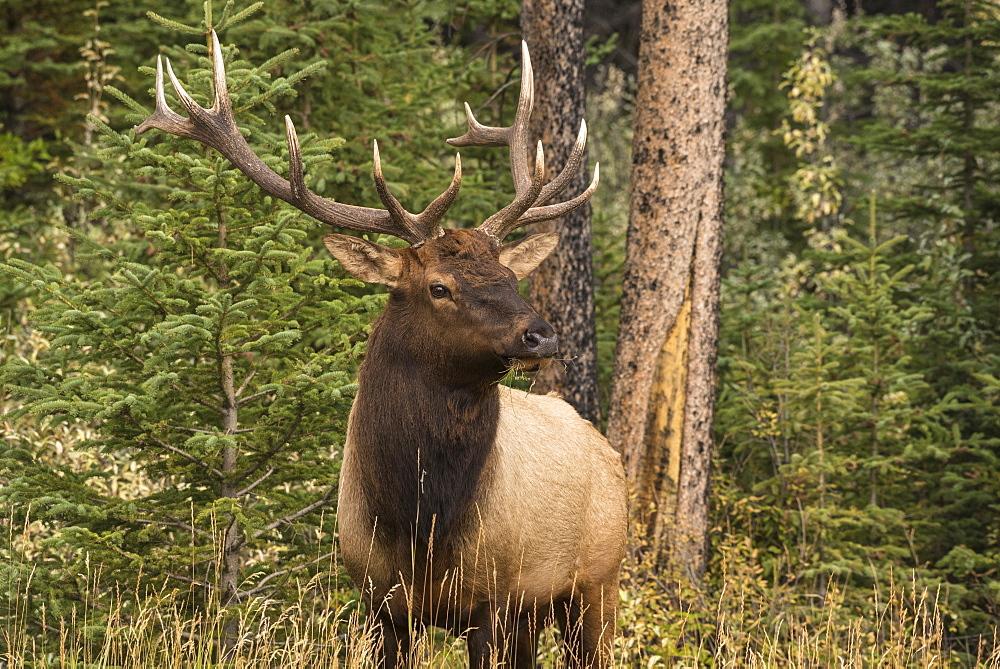 Bull Elk (Wapiti), Banff National Park, UNESCO World Heritage Site, Alberta, Canadian Rockies, Canada, North America - 1241-256