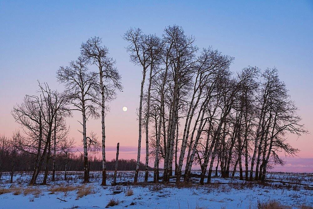 Full Moon and Aspen Grove during a Winter Sunset, Elk Island National Park, Alberta, Canada, North America - 1241-257