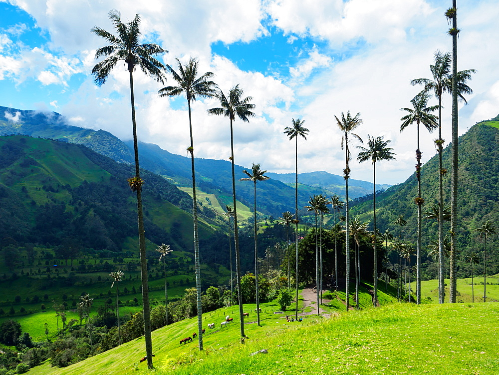 Towering wax palms, Valle de Corcora, near Salento, Colombia, South America - 1242-292