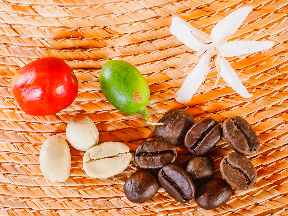 Coffee flower, ripe red coffee berry, unripe coffee berry, green coffee beans, and roasted coffee beans, Hacienda Guayabal, near Manizales, Coffee Region, Colombia, South America