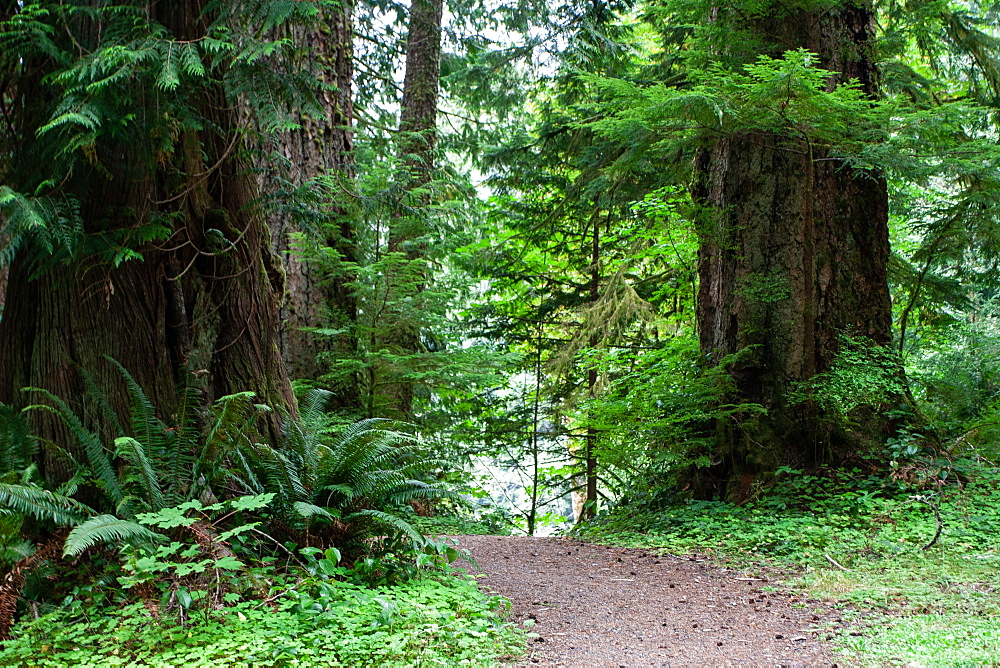 Forest path, Olympic National Park, UNESCO World Heritage Site, Washington State, United States of America, North America