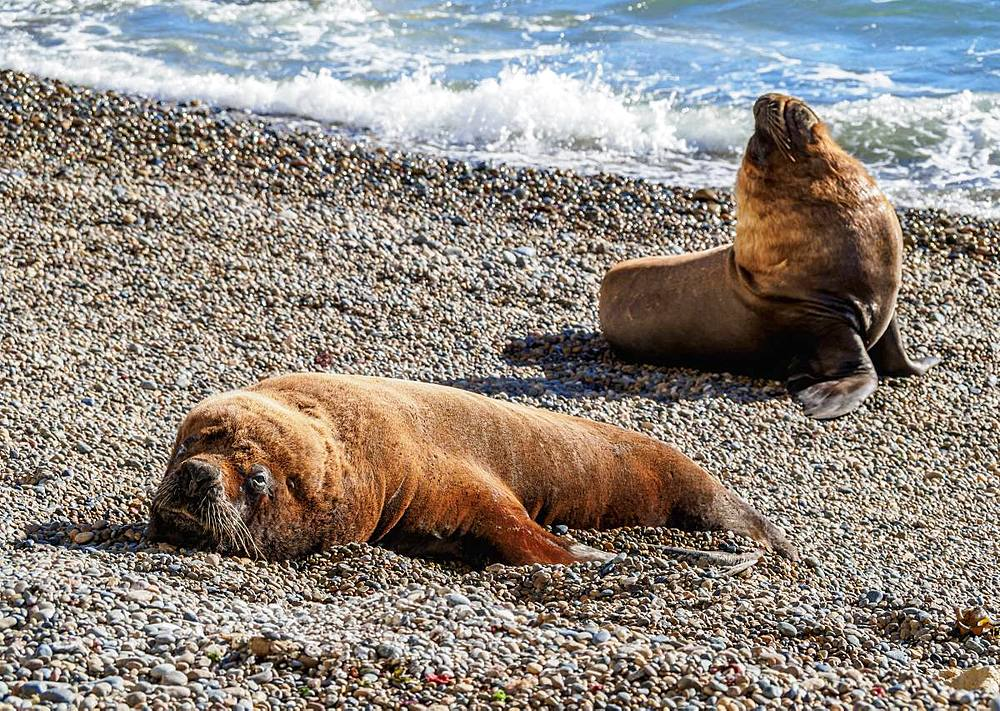 South American Sea Lions (Otaria flavescens), males, Punta Ninfas, Atlantic Coast, Chubut Province, Patagonia, Argentina, South America