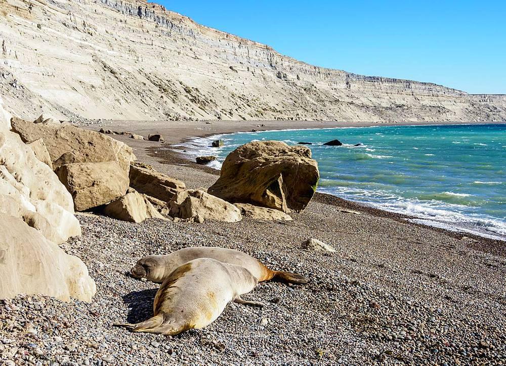 Southern Elephant Seal (Mirounga leonina), two females, Punta Ninfas, Atlantic Coast, Chubut Province, Patagonia, Argentina, South America